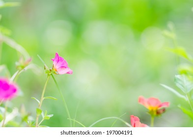 Common Purslane or Verdolaga or Pigweed or Little Hogweed or Pusley flower in the garden