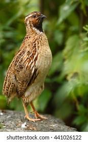 Common Quail, Coturnix coturnix, bird in the nature habitat. Quail sitting on the stone.