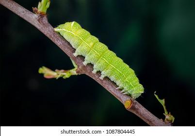 Common Quaker (Orthosia cerasi) moth caterpillar. Sitting on a twig.