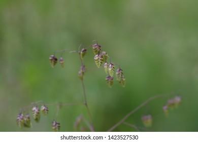 Common quaking grass - Latin name - Briza media