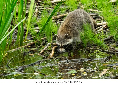 A Common Raccoon is checking out the water of a brackish pond looking for something to eat. Taylor Creek Park, Toronto, Ontario, Canada.