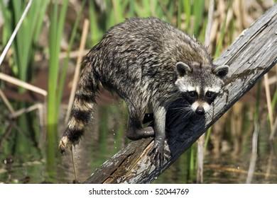 Common Raccoon Fishing (Procyon lotor)