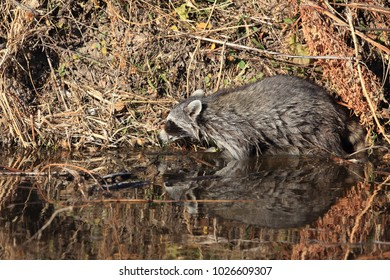 Common Raccoon in new mexico usa