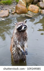 Common raccoon or Procyon lotor standing in water