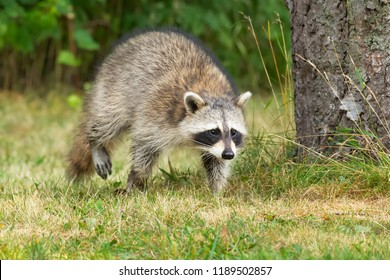Common Raccoon walking in the short grass. High Park, Toronto, Ontario, Canada.