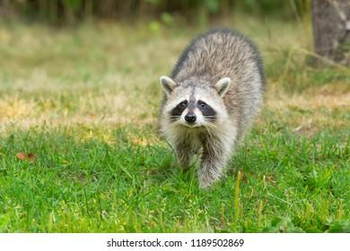 Common Raccoon walking in the short grass. High Park, Toronto, Ontario, Canada.