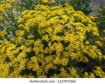 Common ragwort (Jacobaea vulgaris) in full flower