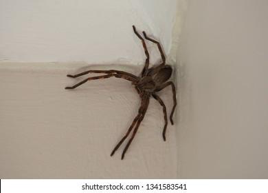 common rain spider, Palystes superciliosus, Infanta, South Africa