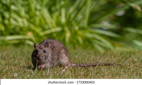 Common rat eating bird seed on the grass in the sunshine. Taken in Crawley West Sussex UK 15th may 2020