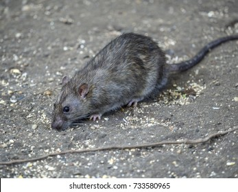 The common rat feeding in Central Park