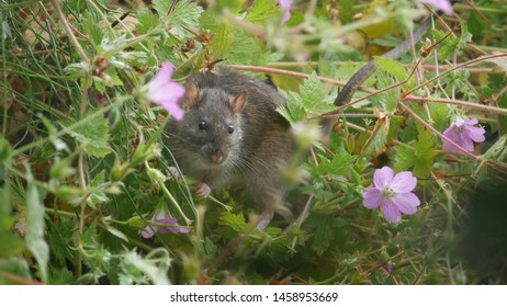 Common rat in a garden eating cranesbill seeds