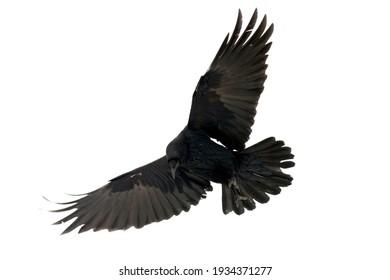 Common rave Corvus corax Black bird