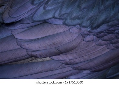Common Raven - close up plumage detail of a Raven's wing feathers ... scientific species name is Corvus corax