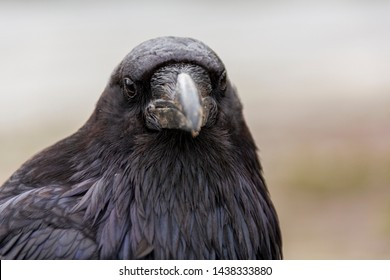 The common raven (Corvus corax) is an all-black passerine bird common in many parts of the world.