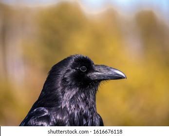 Common Raven (Corvus corax) Close up portrait of a Common Raven.