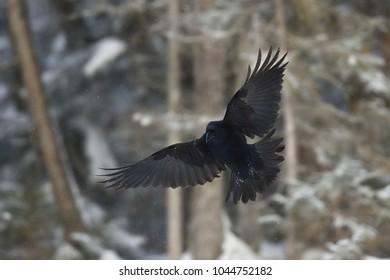 Common raven (Corvus corax) in flight. Bird in flight.