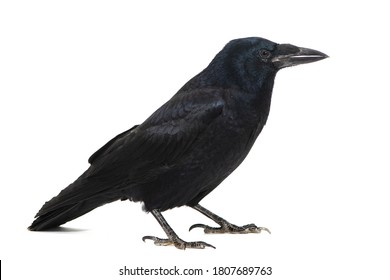 Common Raven Corvus corax, isolated on white background.