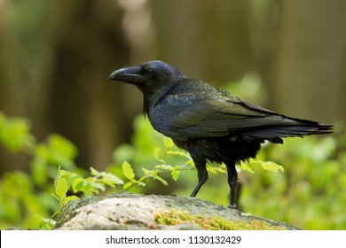 Common raven (Corvus corax), also known as the northern raven, is a large all-black passerine bird. Found across the Northern Hemisphere