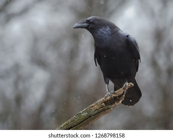 The Common Raven (Corvus corax), also known as the Northern Raven, is a large all-black passerine bird. Photo was taken in Ukraine