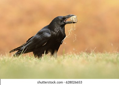 The common raven (Corvus corax), also known as the northern raven, all-black passerine bird. A raven is one of several larger-bodied species of the genus Corvus. Playing with stone, game bird game