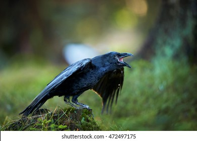 Common raven, Corvus corax, large all-black, mythological and intelligent bird perched on mossy stump with outstretched wings and opened beak. Abstract spruce forest colorful background. Europe.