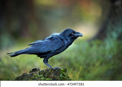 Common raven, Corvus corax, large all-black, mythological and intelligent bird perched on mossy stump in spruce forest against  abstract colorful background. Side view, Europe.