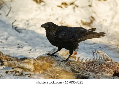 A Common Raven (Corvus corax) on a white-tailed deer carcass in winter