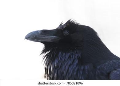 common raven (Corvus corax) portrait isolated on white background