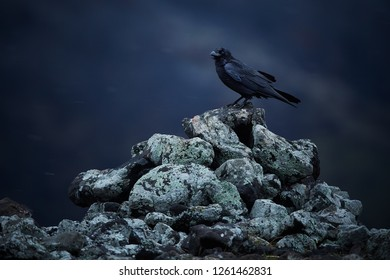 Common raven (Corvus corax) sitting on rocks in a snow blizzard. Dramatic photo from Bulgaria, Rodopy