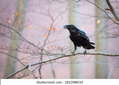 Common raven, corvus corax, sitting on branch in autumn nature. Black feathered bird cawing on bough in in fall. Wild dark crow looking on twig in forest.
