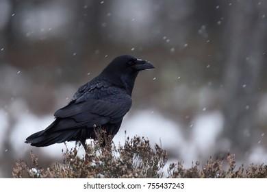 Common raven (Corvus corax) at snowfall