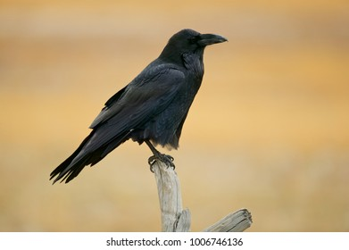 Common Raven (Corvus corax) Yellowstone NP, Wyoming, USA