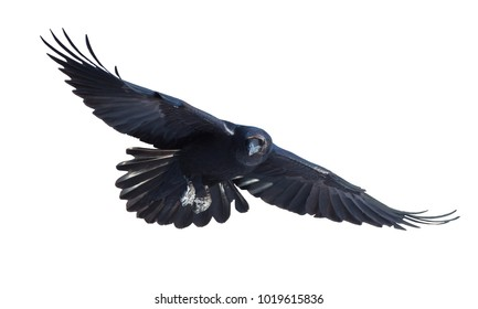Common raven in flight on white background