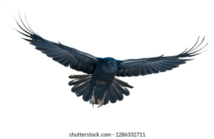 Common Raven flight on white backaground. Corvus corax