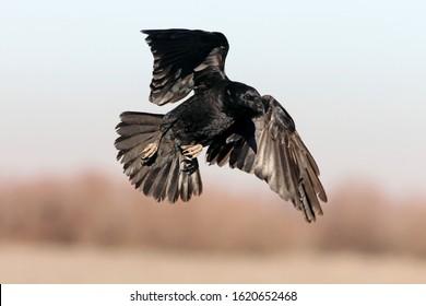 Common raven flying, birds, crow, Corvus corax