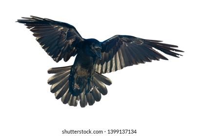 Common Raven isolated on white. Corvus corax