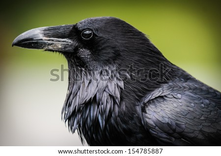 Common Raven, Jasper National Park Alberta Canada