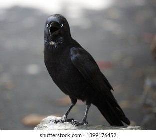 The common raven , also known as the northern raven, all-black passerine bird. A raven is one of several larger-bodied species of the genus Corvus.