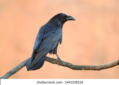 Common Raven on orange background  (Corvus corax). Photo was taken in Ukraine