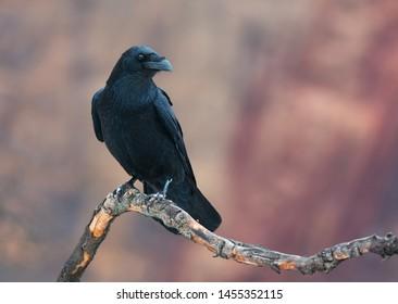 Common Raven on red (Corvus corax). Photo was taken in Ukraine