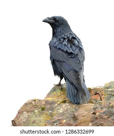 Common Raven perched on rock. Corvus corax. Isolated on white