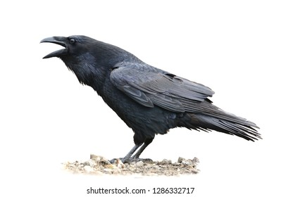 Common Raven screaming. Corvus corax. Isolated on white