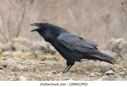 Common raven screaming. Corvus corax