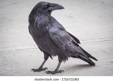 A common raven searching for food
