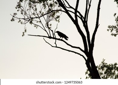 Common raven silhouette on white background in backlight. Silhouette of Common raven sitting on a tree