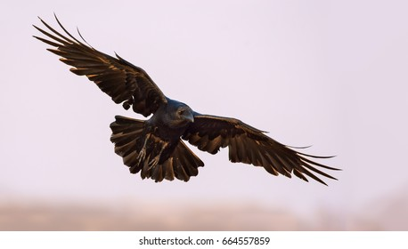 Common Raven soaring in the sky with stretched wings, legs and tail