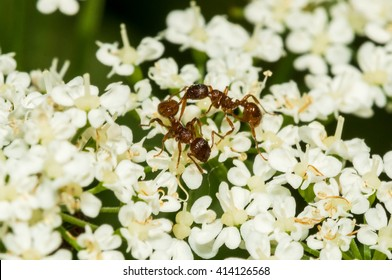 Common red ant gathering nectar from flower in the spring.