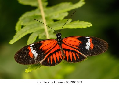 Common Red butterfly in ecuadorian butterfly garden, Mindo