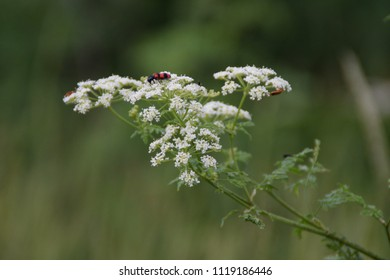 Common Red Soldier Beetle Mating On White Dill Flower