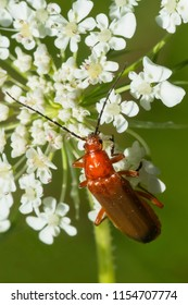 Common Red Soldier Beetle perched on a white flower. Also known as a Bloodsucker Beetle. Taylor Creek Park, Toronto, Ontario, Canada.